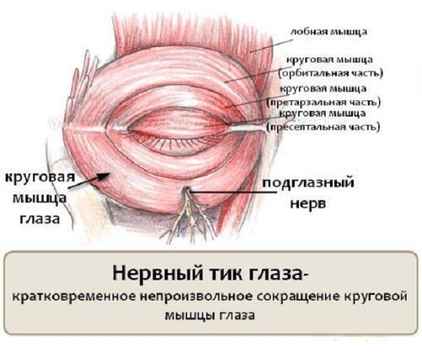 Картинки по запросу круговая мышца глаза 3 части