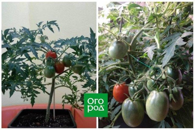 сорта томатов для зимнего выращивания