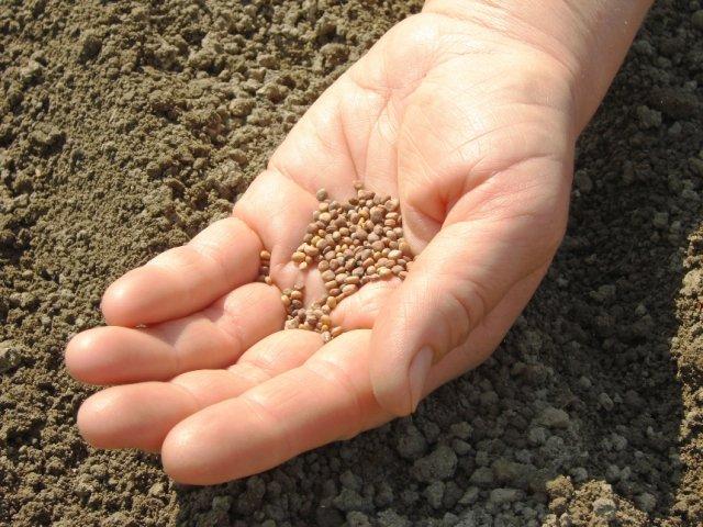 посев семян редиса в грунт весной