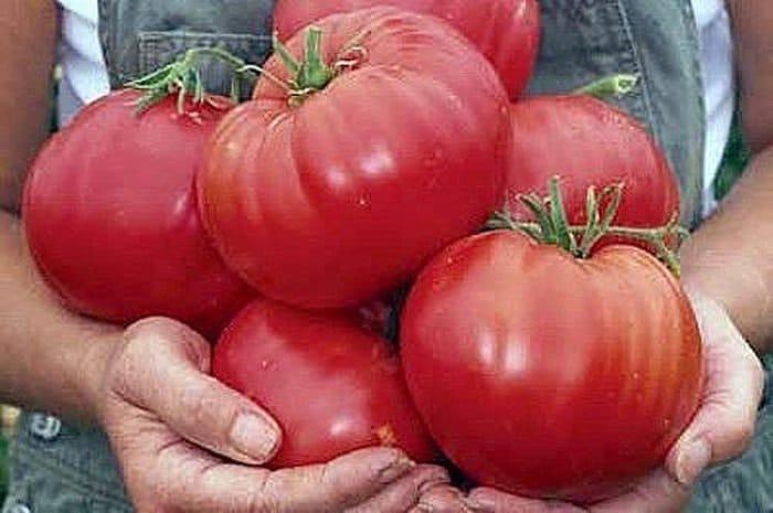 Чтобы помидорчики были крупными и не трескались