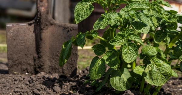 Богатый урожай картофеля намаленьком огороде: метод Виктора Сергеенко