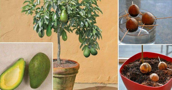 Как вырастить деревце авокадо дома в горшочке