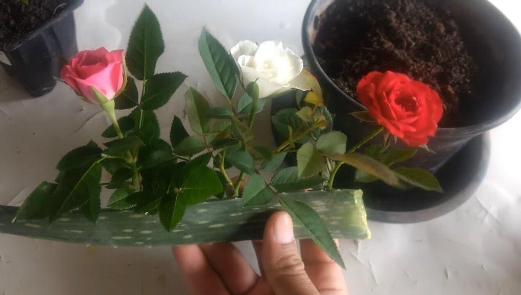 Эффективный способ укоренения розы